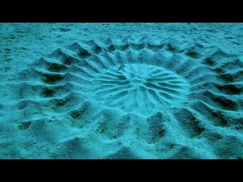 Le poisson-globe fabrique des sculptures au fond de l'eau pour attirer la femelle, ils s'accouplent au centre de son chef-d'oeuvre @tuCpakoa